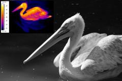 pelican_mix